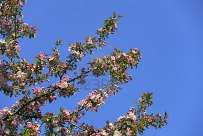 1-flor-del-arbol-de-pera-