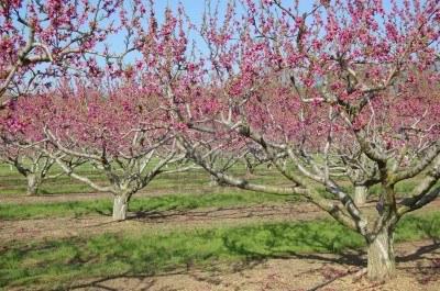 1huerto-de-duraznos-arboles-con-flores-de-color-rosas
