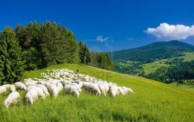 1rebanos-de-ovejas-