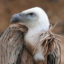 250px-Eagle_beak_sideview_A