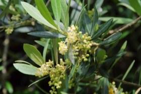 7335056-flor-de-olivo-01