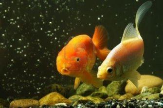 dos-peces-dorados-