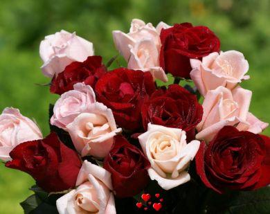 fotos-rosas-rojas-y-rosas