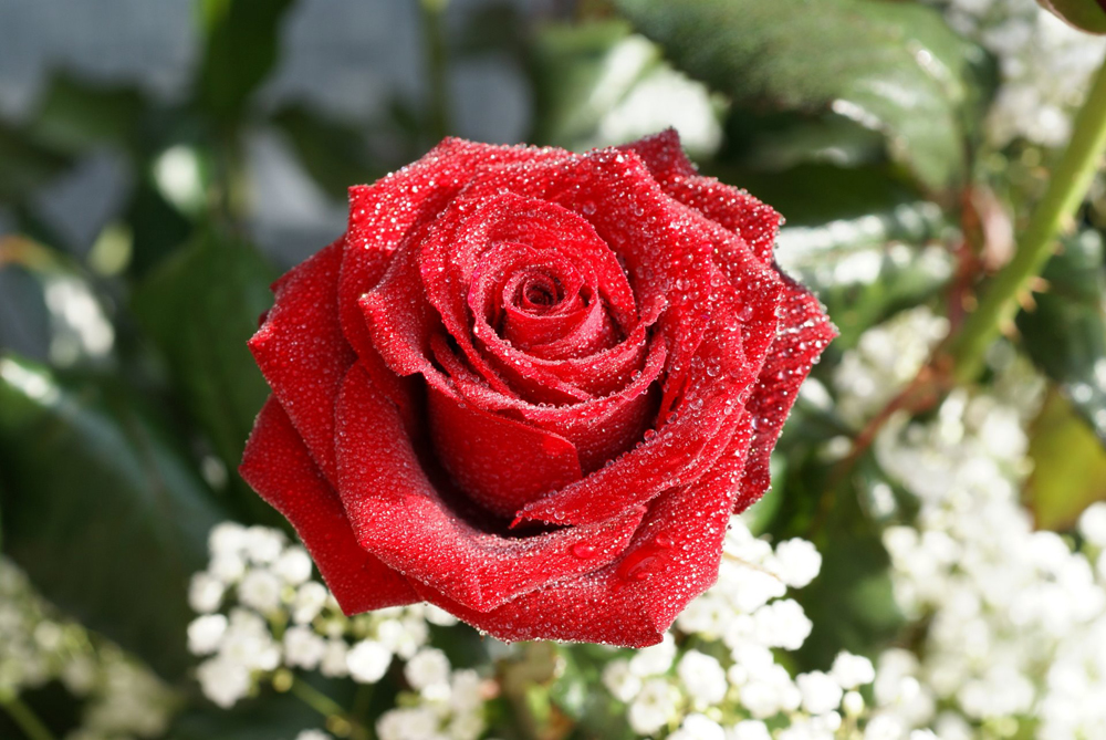 fotos-rosas-rojas