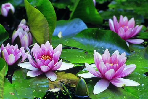 Lirios acuaticos 1 cronicadeunatraicion for Plantas decorativas con sus nombres