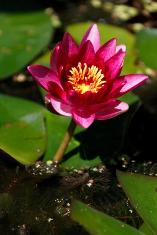 purple-water-lily
