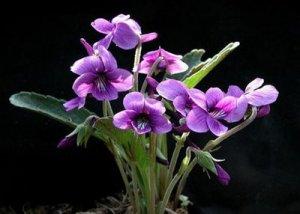 ramo-violetas[1]
