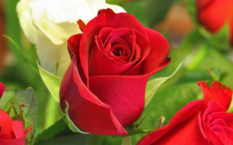 rosa_roja_con_espinas-wide