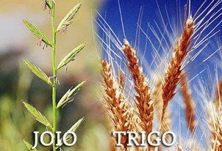 trigo-e-do-joio1