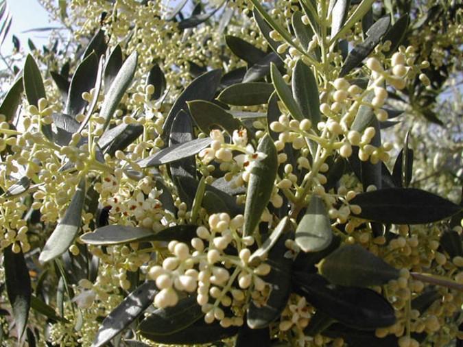 12flor-olivo