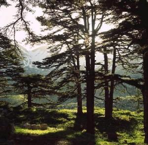 cedros-del-libano