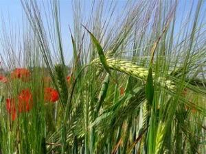 trigo-cizaña