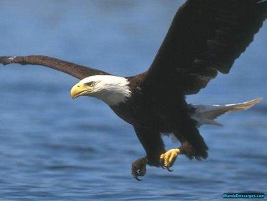 Aguila%20volando