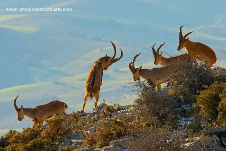Cabras-peleando-IMG_ IMG_5933