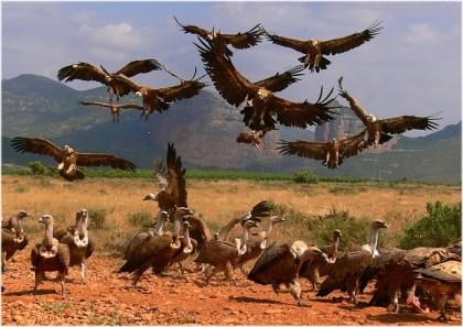 buitres-volando