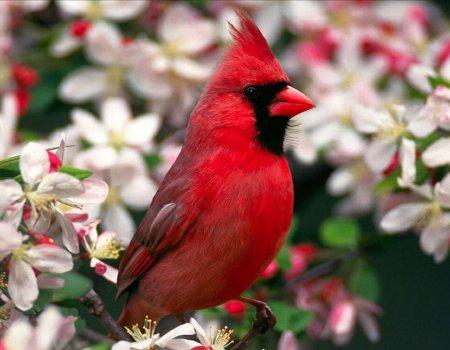 cardenal-animales-pajaros-p