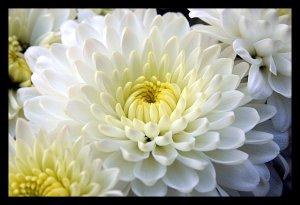 flor-crisantemo