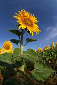 girasol-sunflower