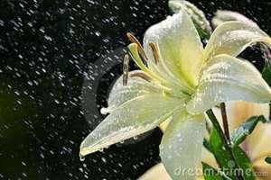 lirio-blanco-en-lluvia-10612863