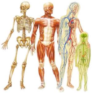 50-Incredibly-Weird-Facts-about-the-Human-Body-Musculoskeletal-System