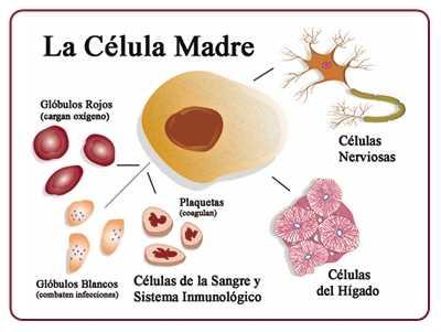 Qué-son-y-para-qué-sirven-las-células-madre-adultas