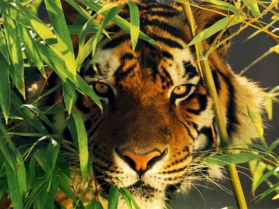 _tigre