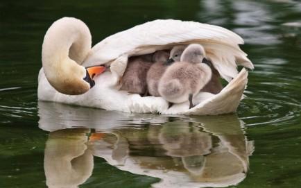 familia de cisnes