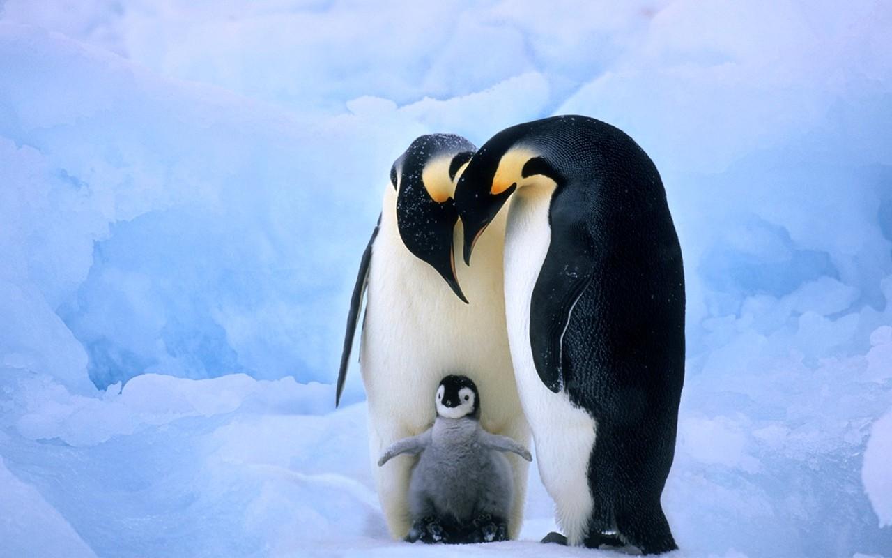 00fam de pinguino