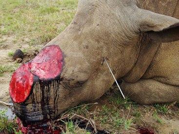 00poached_rhino