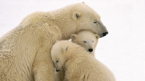 polar_bears_care_family_babies_51522_3840x2160