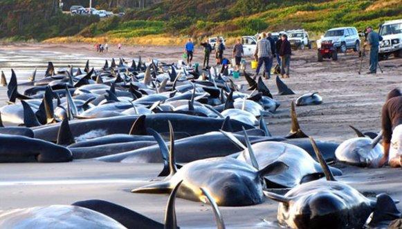 377202-kamp-for-at-redde-strandede-hvaler--