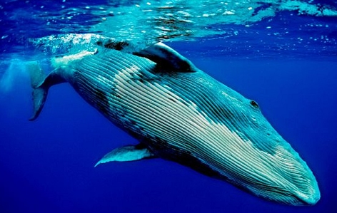 la-ballena-azul3