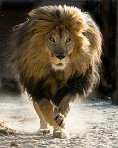gran-leon