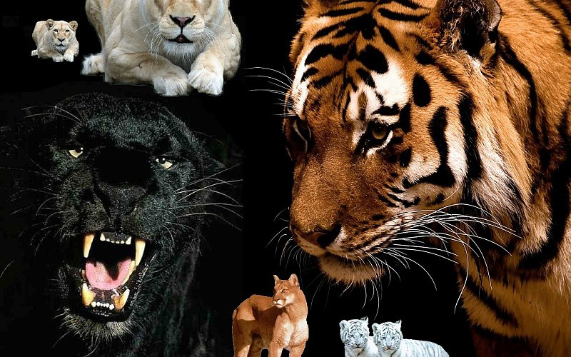 felinos tigers-panthers-snow-leopards-wallpaper-513699