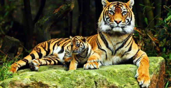 tigre-680x350