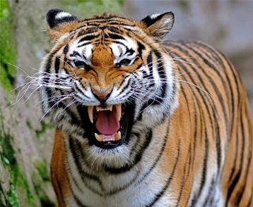 tigre-rugiendo