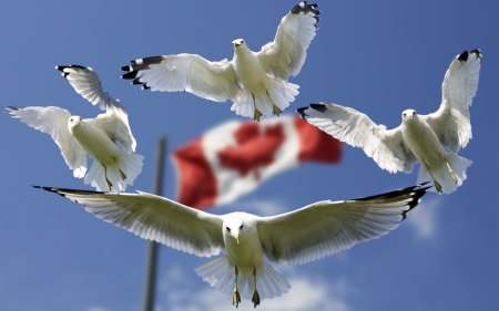 gulls-and-canada-flag-in-background-wallpaper